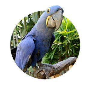 Arara azul apoiada no galho