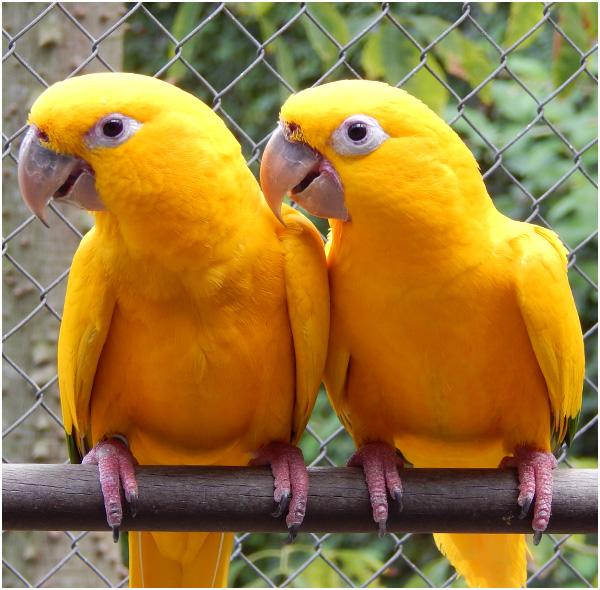 Dois pássaros ararajuba