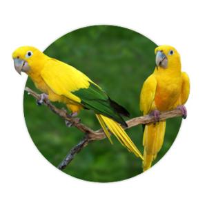 Dois pássaros ararajuba em cima de um galho