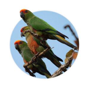 Três pássaros jandaia mineira em cima de um galho