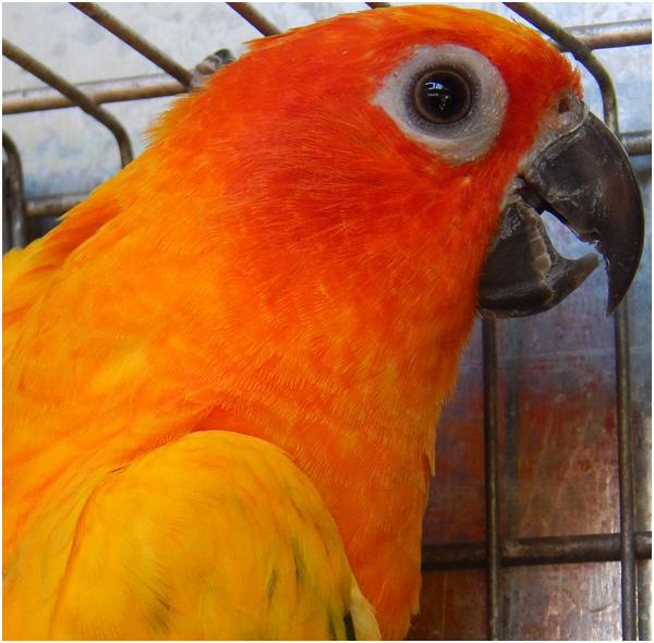 Pássaro Jandaia Sol de perfil