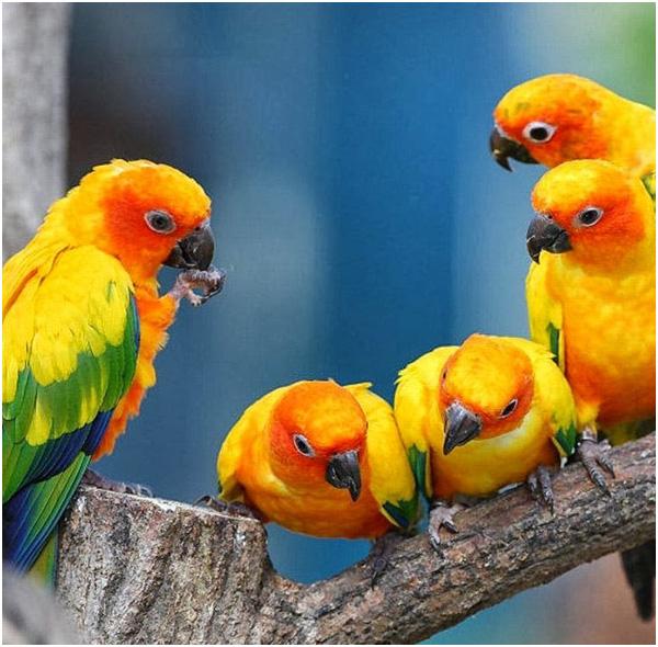 Cinco pássaros jandaia sol em cima de um galho
