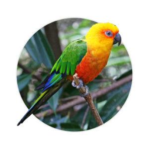 pássaro jandaira verdadeira em cima de um galho