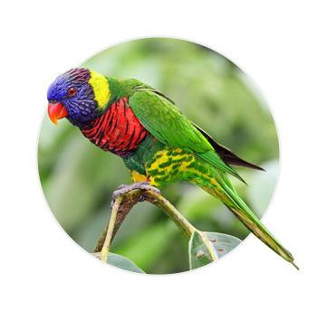 Pássaro Loris Arco Iris em cima de um galho