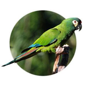 Pássaro maracana verdadeira em cima de um galho
