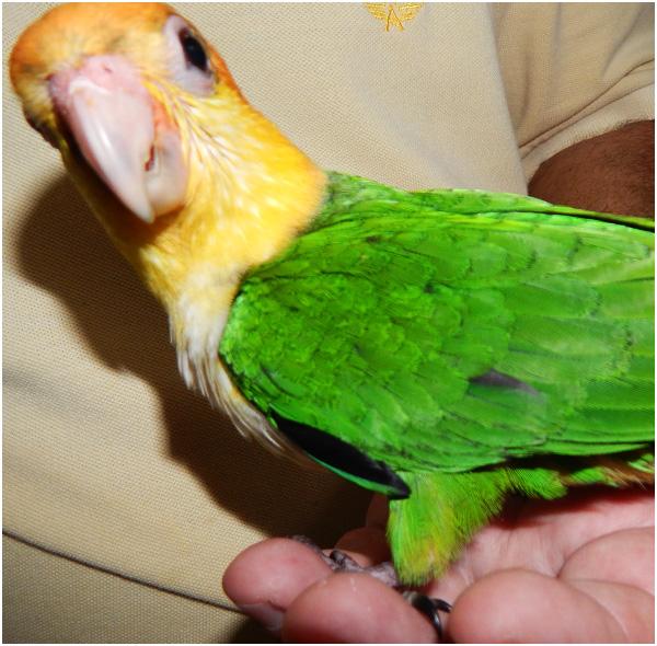 marianinha-da-cabeca-amarela-02
