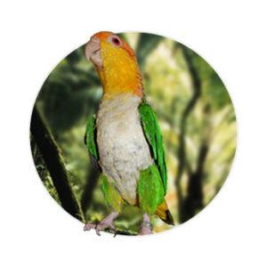 Pássaro Marianinha da cabeça amarela