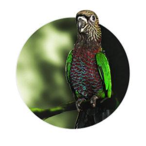 Papagaio Anaca em cima de um galho