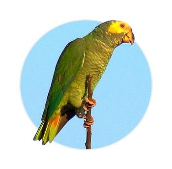 Papagaio Galego em cima de um galho