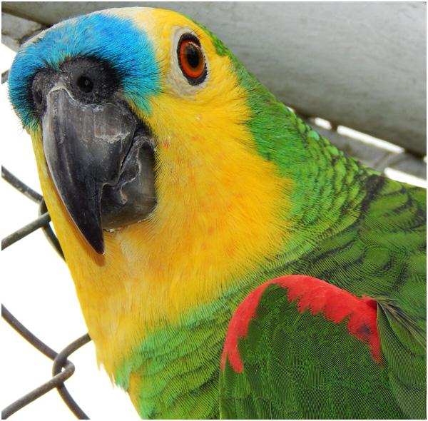 Cabeça do papagaio verdadeiro