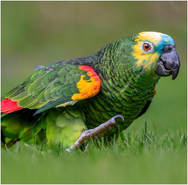 Papagaio verdadeiro em cima da grama
