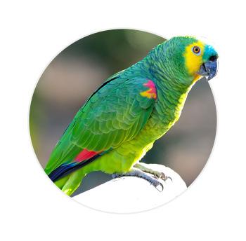 Papagaio verdadeiro de perfil