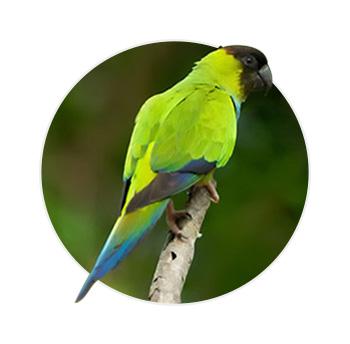 Pássaro Príncipe Negro em cima de um galho