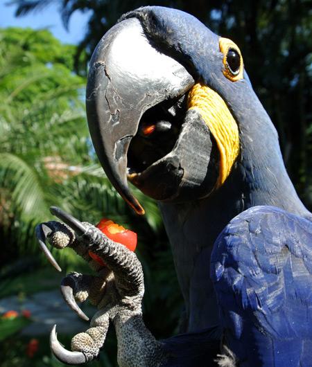 Arara Azul com o bico aberto mostrando a pata
