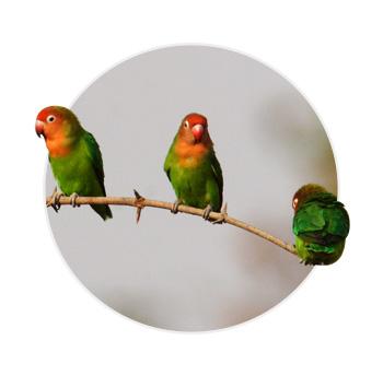 Três pássaros agapornis em cima de um galho