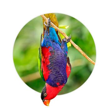 Pássaro Loris Bailarino pendurado de cabeça pra baixo em um galho