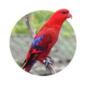 Pássaro Loris Borneo em cima de um galho