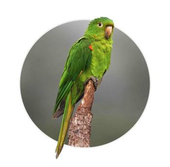 Pássaro Maritaca em cima de um galho