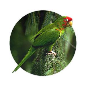 Pássaro Mitrata em cima de uma árvore