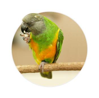 Papagio do senegal em cima de um galho bicando a própria pata