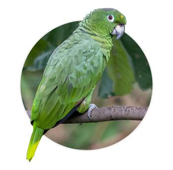 Papagaio Farinosa em cima de um galho
