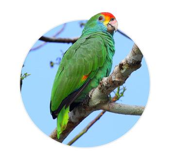 Pássaro Papagaio Rhodocorytha em cima de um galho