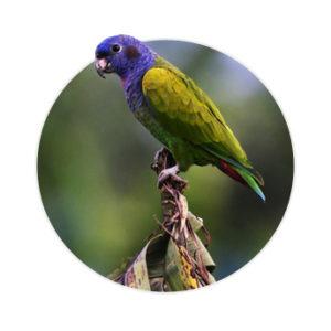 Pássaro Pionus em cima de uma planta