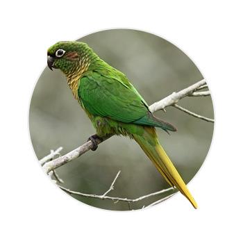 Pássaro pyrrhura em cima de um galho