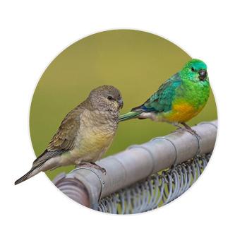 Dois pássaros Red Rumped em cima de um suporte