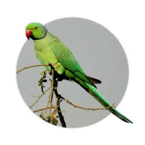 Ringed Neck verde em cima de um galho