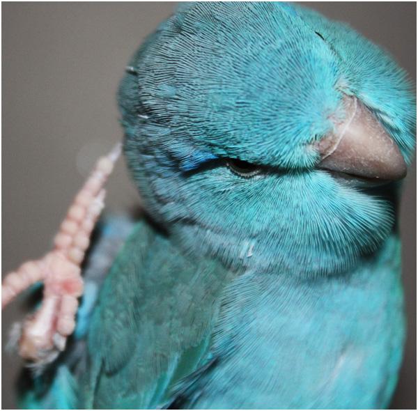 Pássaro Tuim Azul