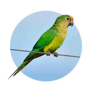 Pássaro Periquito em cima do galho