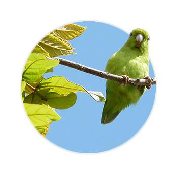 Pássaro Tuim Verde em cima de um galho