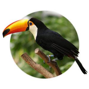 Pássaro Tucano de perfil em cima de um galho