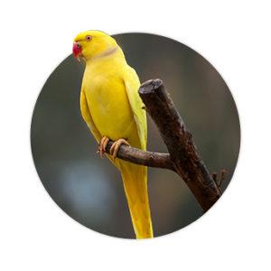 Pássaro Ringed Neck Amarelo em cima de um galho