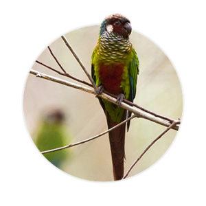Pássaro Leucotis em cima de um galho