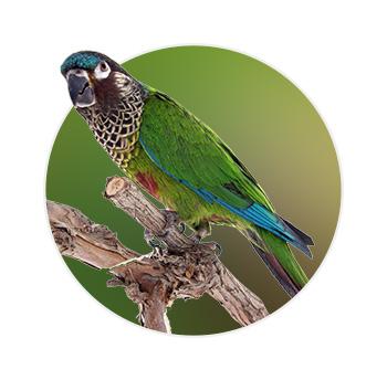 Pássaro Picta em cima de um galho